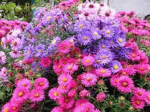 Астра новобельгийская (48 фото): посадка и уход за травянистым растением для открытого грунта. сорта mary ballard, magic purple, royal ruby