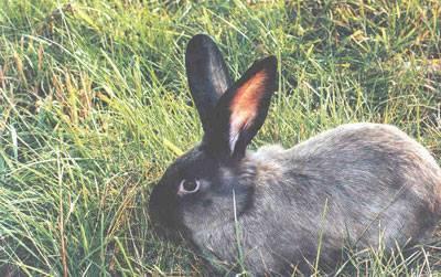 Гибрид кролика и шиншиллы