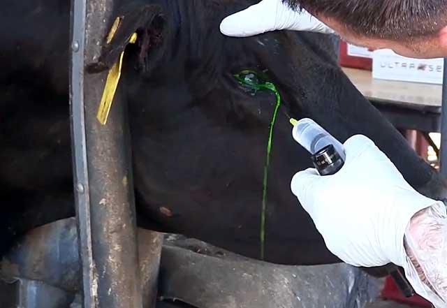 У коровы слезятся глаза лечение