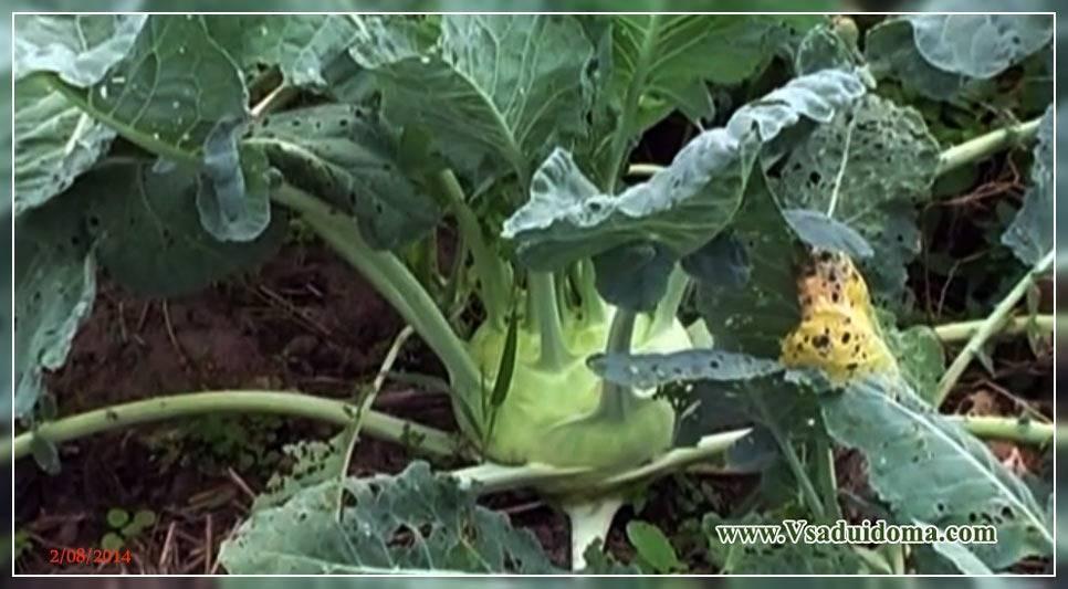 Капуста кольраби выращивание