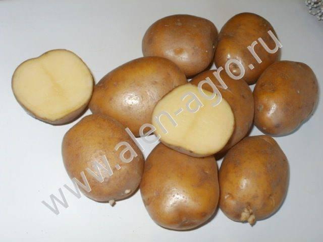 Скарб: описание семенного сорта картофеля, характеристики, агротехника
