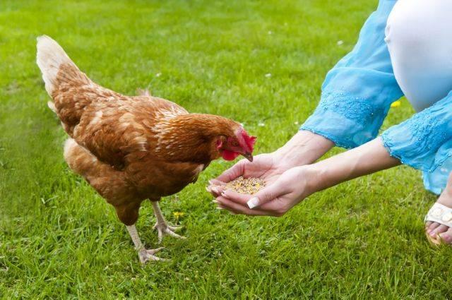 О байтриле: инструкция по применению для цыплят, бройлеров, кур (дозировка)
