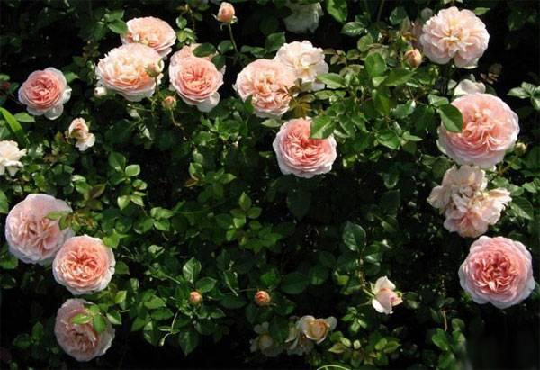 О розе Абрахам Дерби (Abraham Darby): описание сорта розы Остина, выращивание