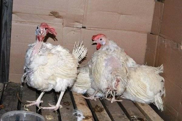 Понос у кур: причины, симптомы и лечение