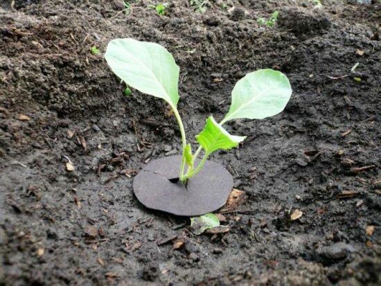 Как вырастить цветную капусту на огороде своими руками - пошаговая инструкция!