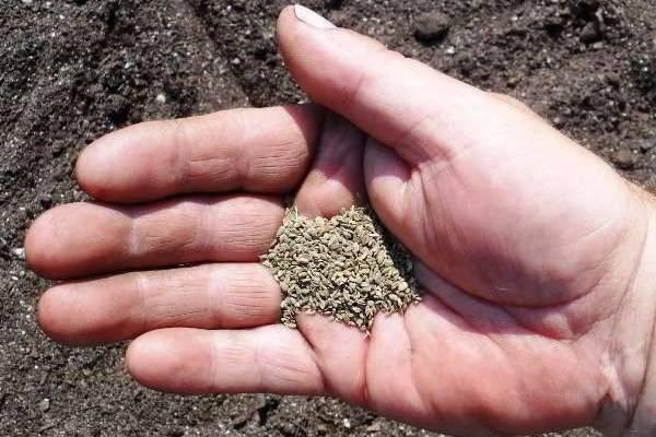 Выращивание моркови: выбор сорта и места посадки, организация грядок, как удобрять