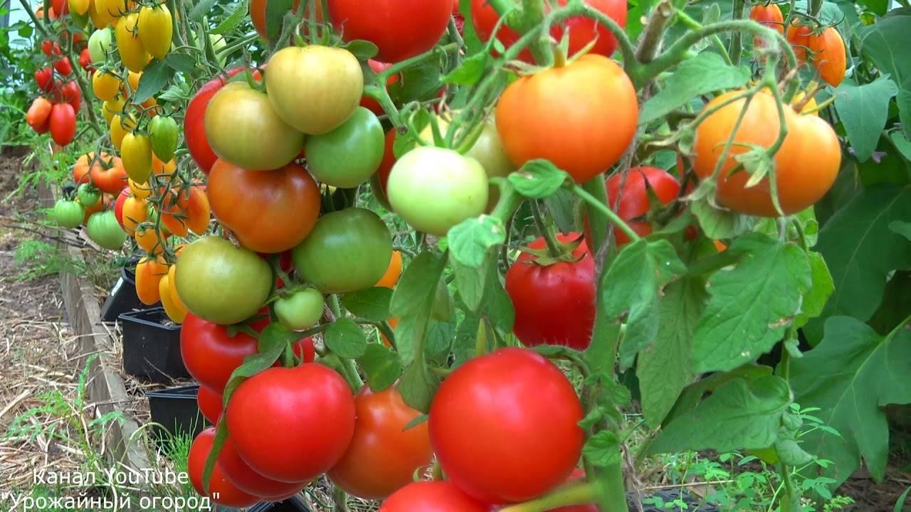 Томат 42 дня: отзывы, фото, урожайность, описание и характеристика   tomatland.ru