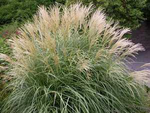 Кортадерия или пампасная трава для дачного участка как вырастить из семян посадка и уход фото - общая информация - 2020