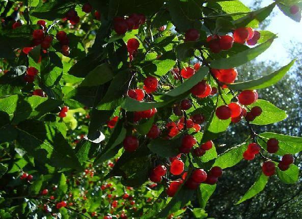 Жимолость съедобная — обзор лучших сортов с описанием и фото: для средней полосы и подмосковья; морозостойкие, ранние, сладкие ягоды