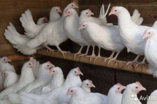 Белые породы кур: характеристика, виды, выбор, уход
