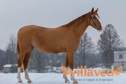 Выставка лошадей донской и буденновской пород «золотая лошадь» 22 сентября - не пропустите это зрелищное мероприятие!