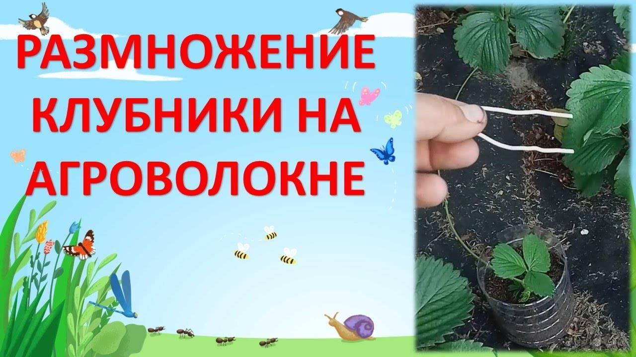 Когда рассаживать клубнику: как и когда правильно сажать и пересаживать клубнику в открытый грунт и телицах. советы экспертов + 130 фото