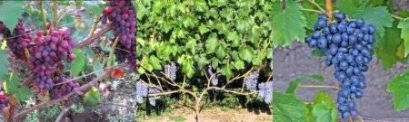 Виноград кишмиш юпитер: описание сорта, фото, отзывы