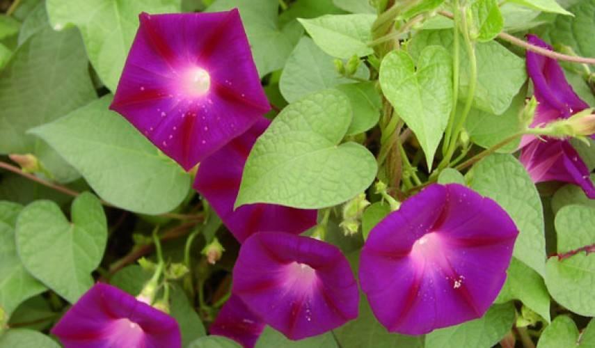 Причины отсутствия цвета у ипомеи: от чего зависит, как заставить цвести