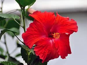 Уход за китайской розой в домашних условиях (что делать, если опадают листья)