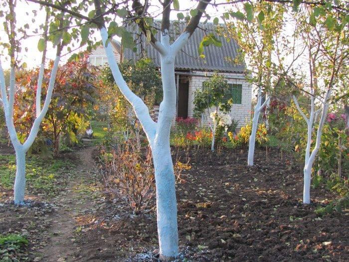 Когда лучше белить деревья в саду – осенью или весной?
