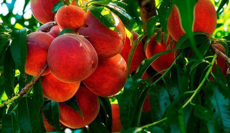 Гибрид сливы и абрикоса – описание сортов