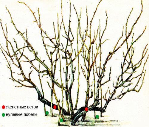 Смородина и крыжовник весной - обрезка кустов, подкормка, посадка, защита