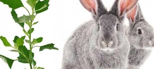 Чем можно кормить кроликов, а чем нельзя?