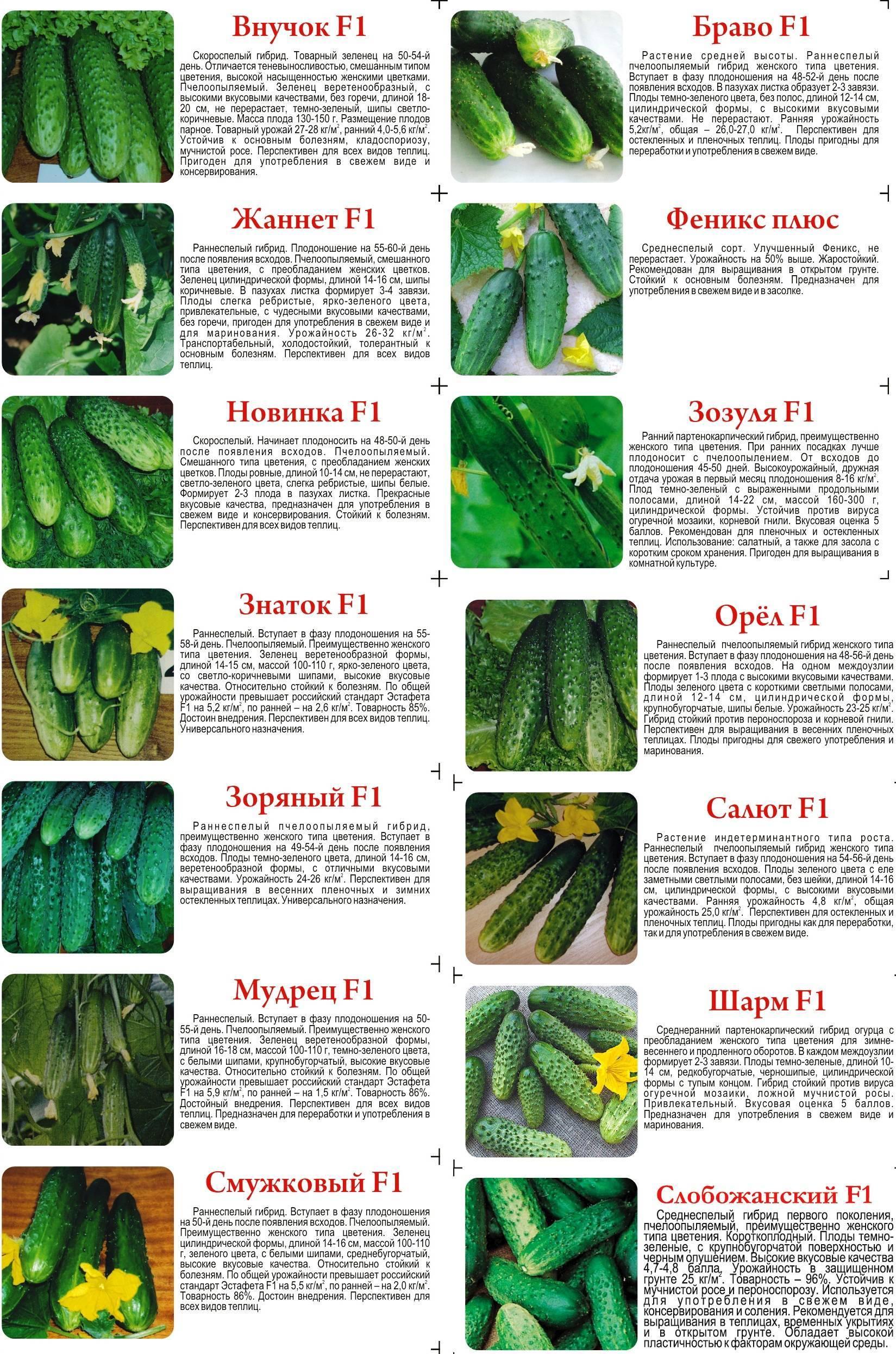 Семена огурцов: лучшие сорта для теплиц - правила выбора и полный обзор характеристик!