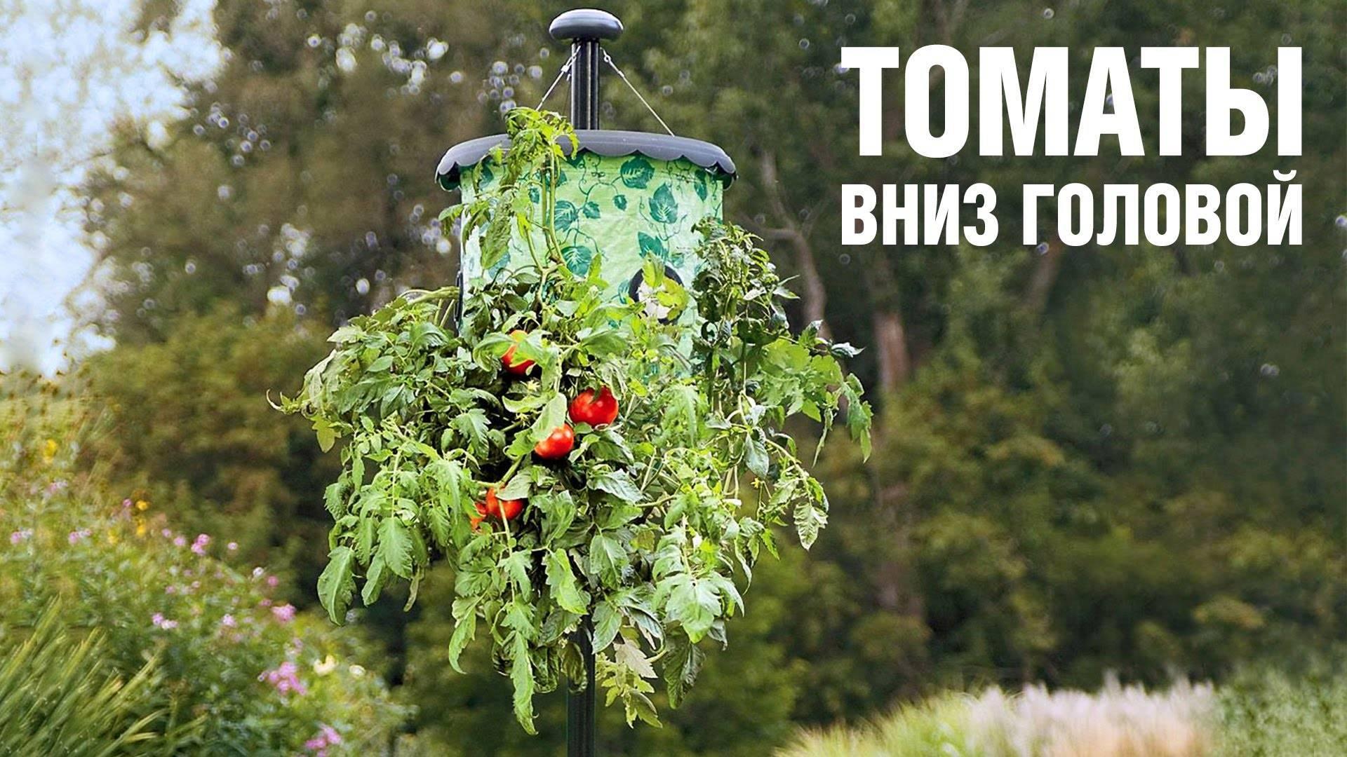 Сажаем наоборот: выращивание томатов вверх тормашками