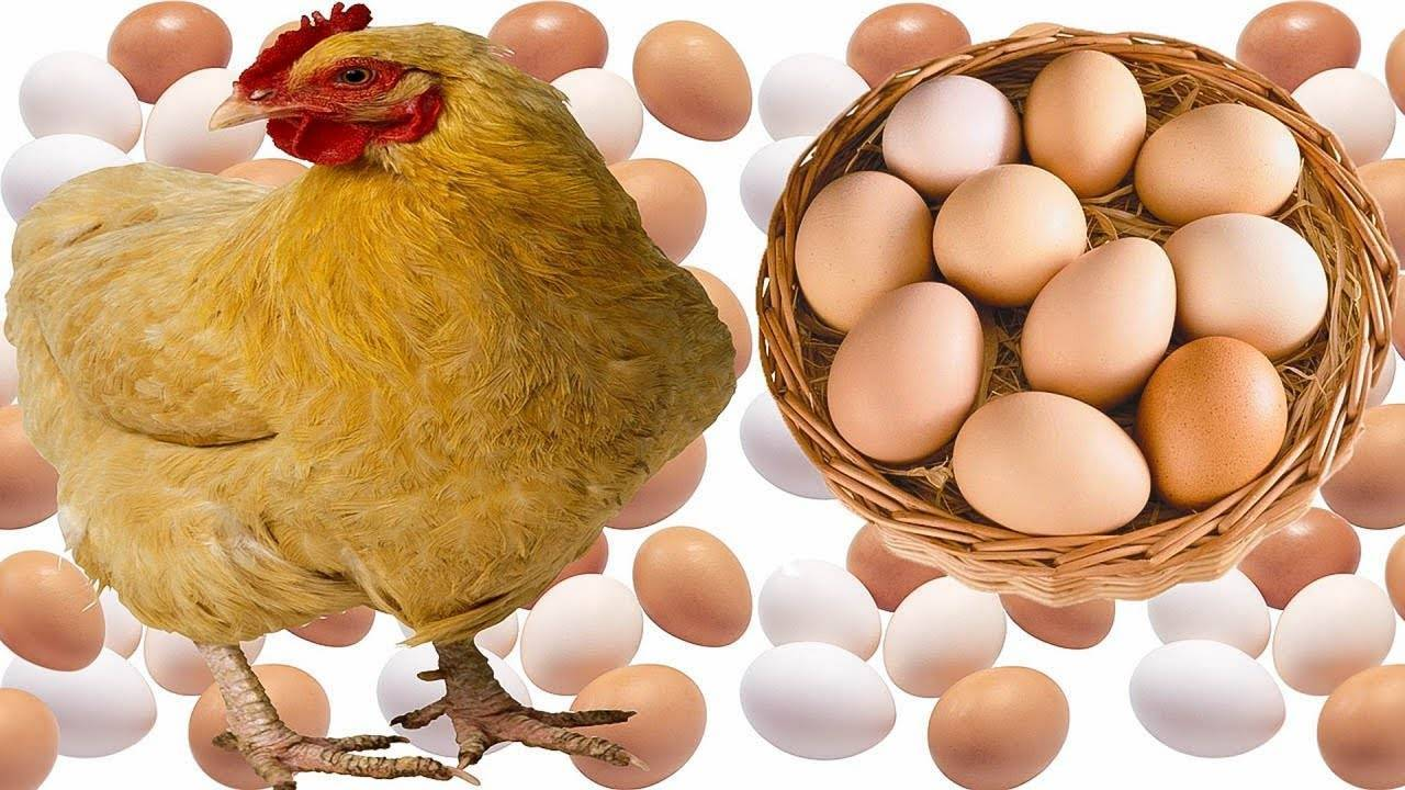 Инкубация бройлеров: таблица с режимом инкубации бройлерных яиц. использование инкубатора в домашних условиях для начинающих. как вырастить бройлеров кобб-500?