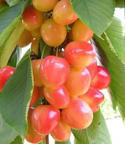 Принцип выращивания вишни из косточки