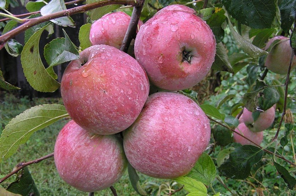 О яблоне Брянское: описание сорта, характеристики, агротехника, выращивание