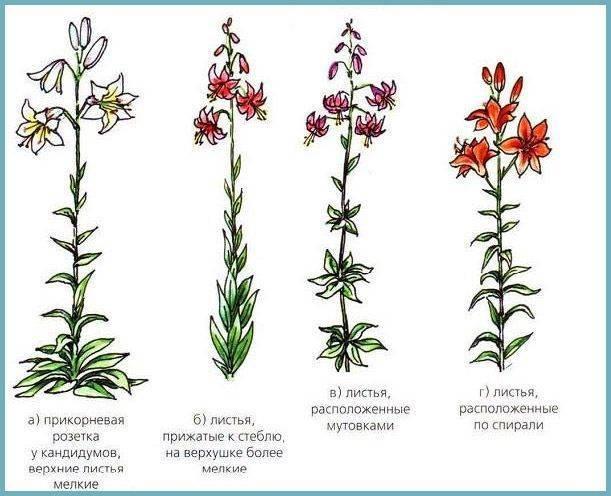 Древовидная лилия (60 фото): посадка и уход за лилией-деревом в открытом грунте. описание «пурпл принц» и других сортов