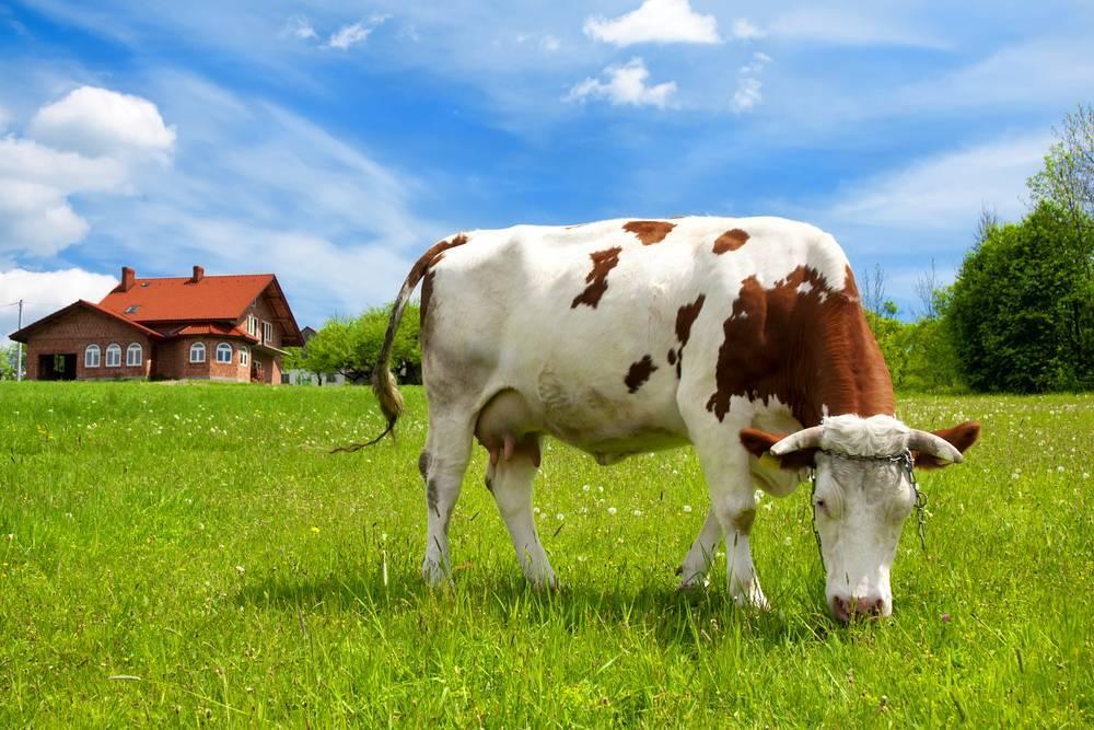 Особенности кормления стельных сухостойных коров