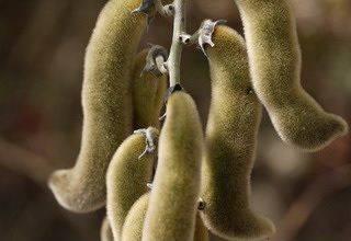 Шоколадное дерево какао: фото сортов, как растут какао-бобы