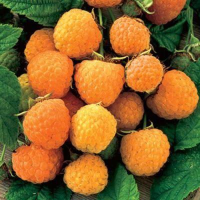 Top-15 сортов желтой малины: описание, отзывы, выбор редакции