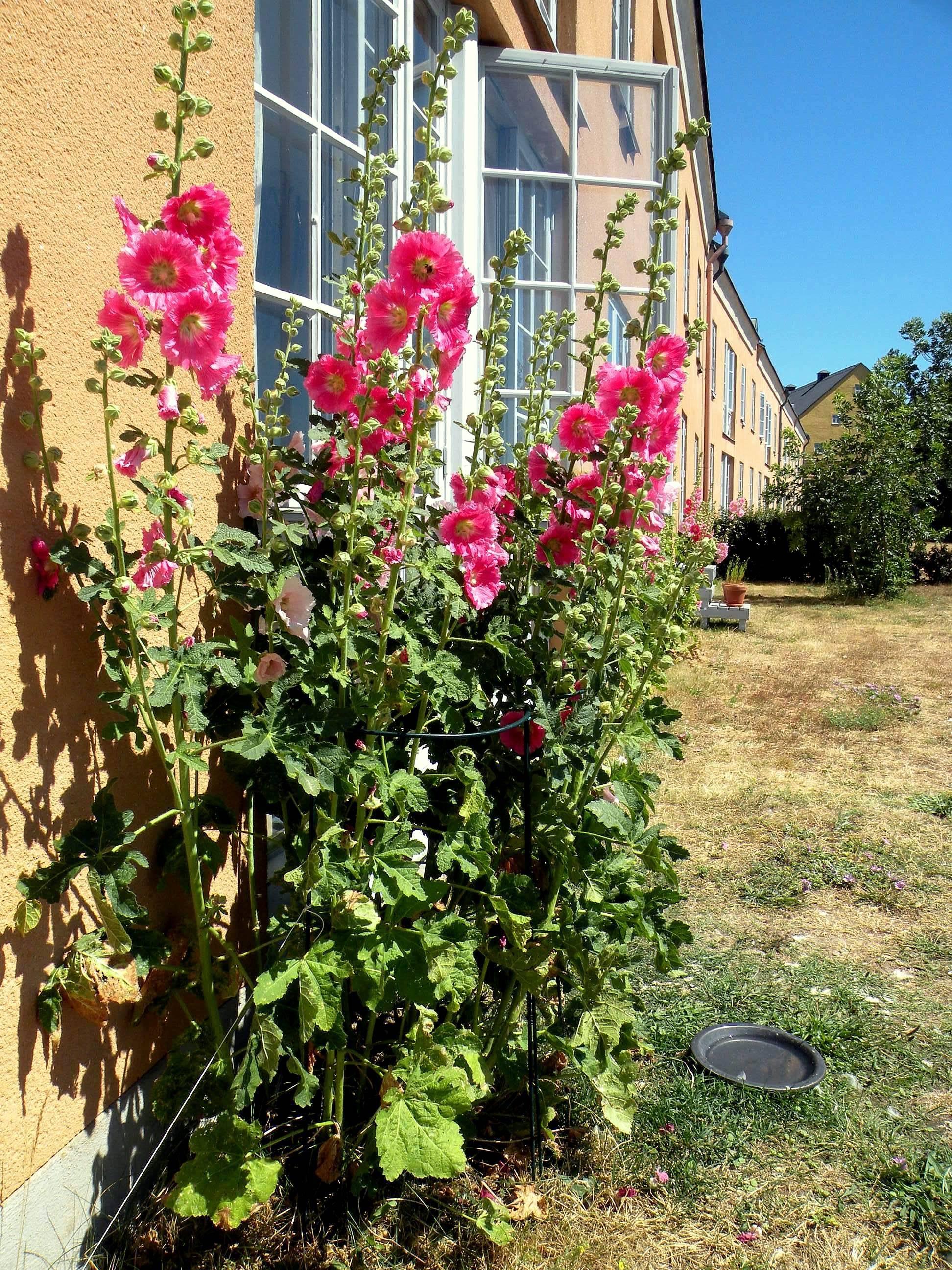 Мальва - шток роза, выращивание и уход на садовом участке
