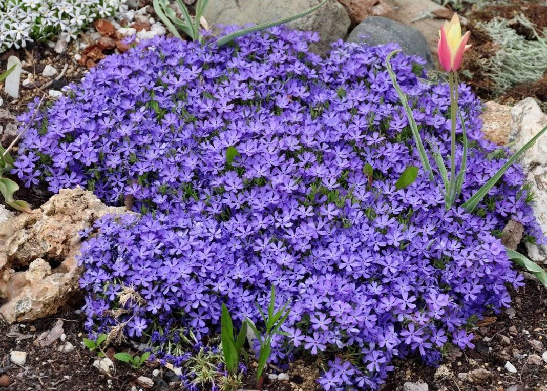 Флокс шиловидный посадка и уход в саду – практическое руководство с фото
