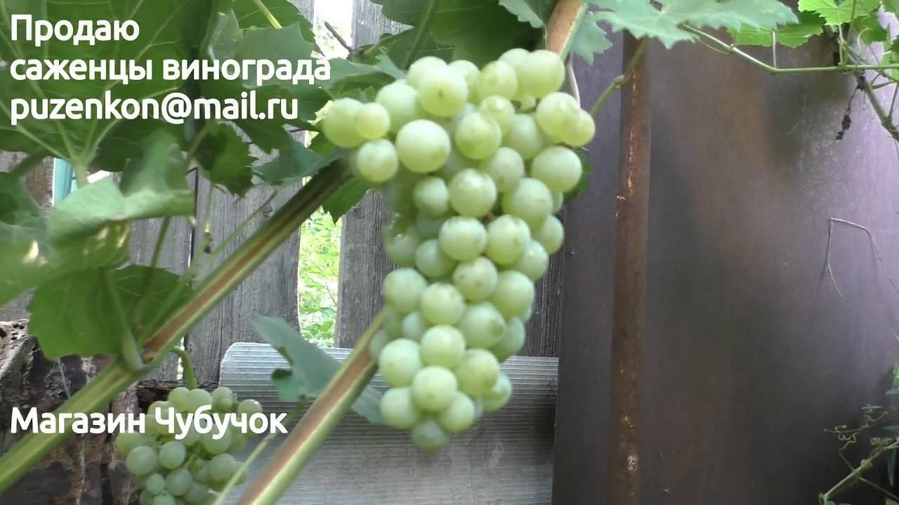 Виноград магарач: описание сорта, особенности и характеристики, выращивание и борьба с вредителями, фото