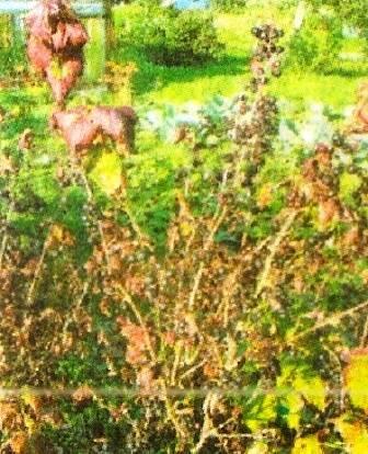 Болезни кустарников смородины с фото