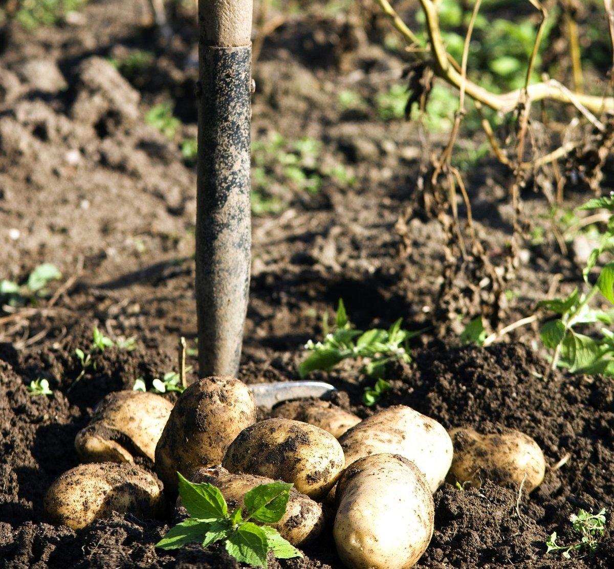 Сонник собиралась копать картошку. к чему снится собиралась копать картошку видеть во сне - сонник дома солнца