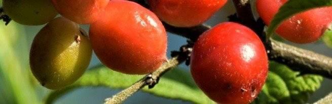 Как называется гибрид вишни и черемухи?