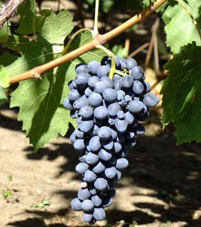 Виноград аттика