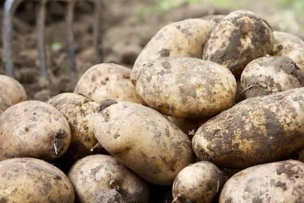 Характеристика картофеля сорта уладар