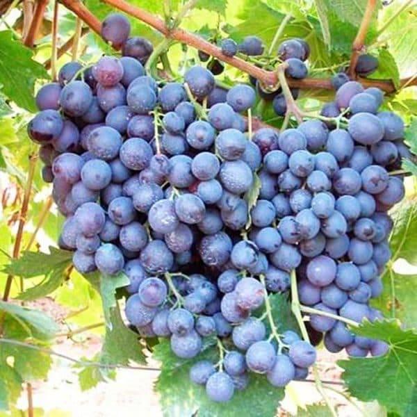 Сорт винограда мускат белый шатилова
