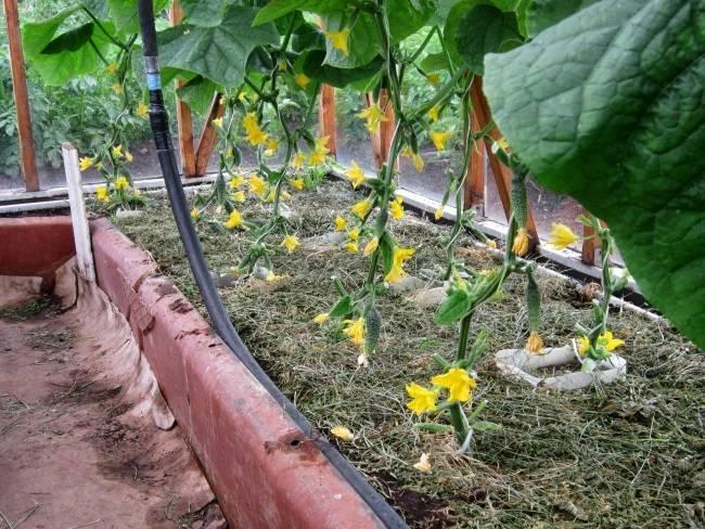 Почему желтеют завязи огурцов в теплице или открытом грунте - основные причины