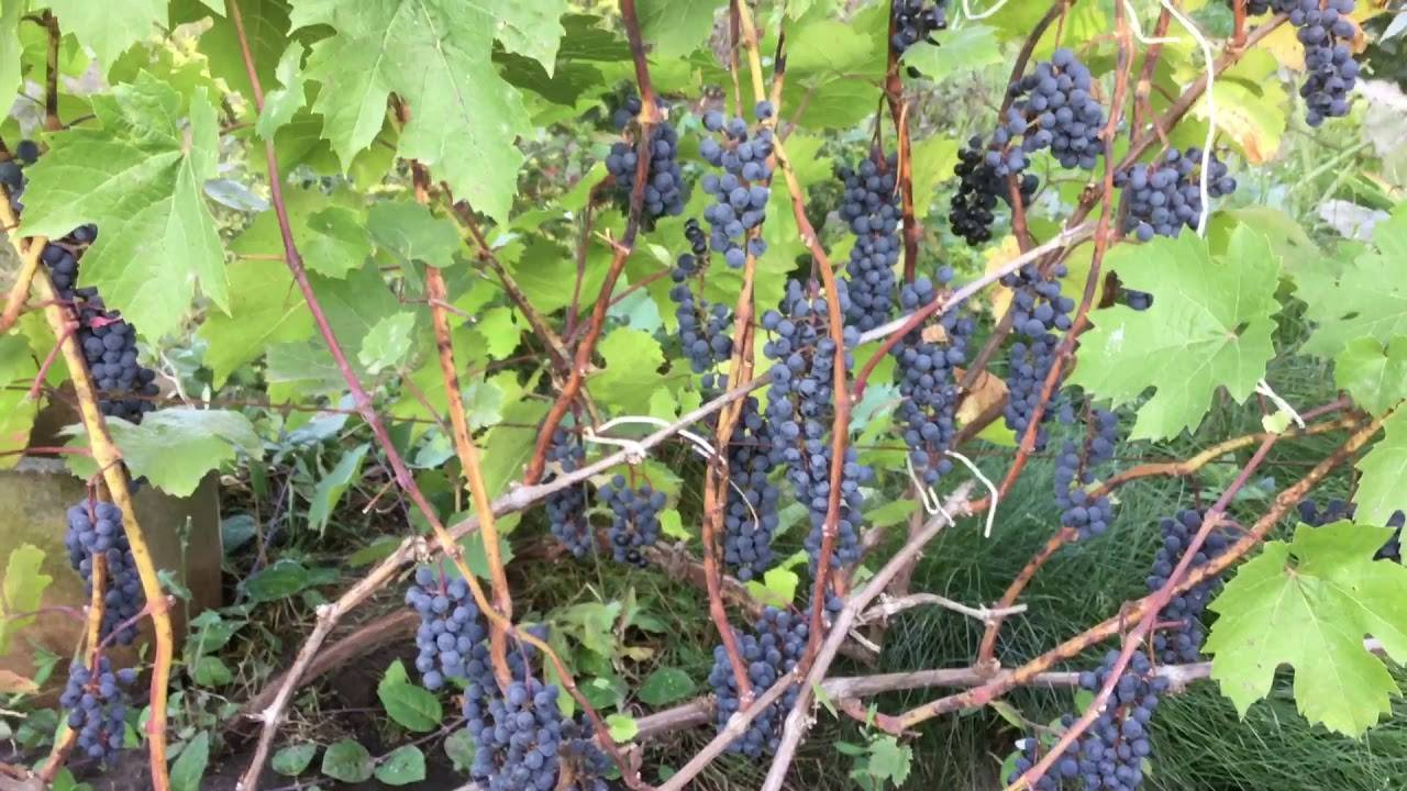 Виноград мукузани: описание и характеристики сорта винограда, выращивание и уход, фото, видео