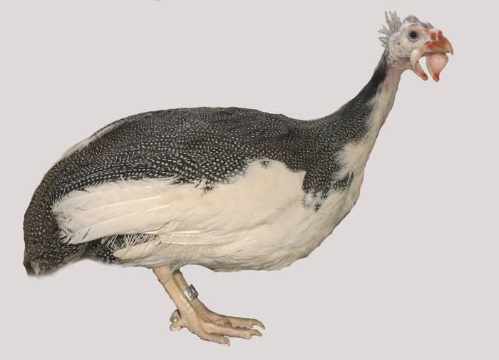 Домашние цесарки: особенности птиц и польза их яиц