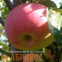 Яблоня строевское – элитный зимний сорт с отличным иммунитетом