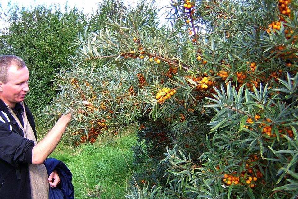 Облепиха сорта — лучшие сорта для выращивания. советы опытных садоводов по посадке и уходу (95 фото + видео)
