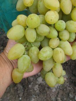 Надежда аксайская виноград — ягоды грибы