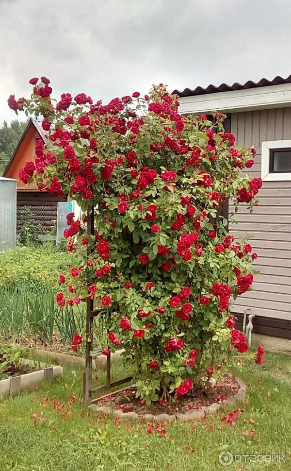 сзади, роза симпатия описание фото серебряный