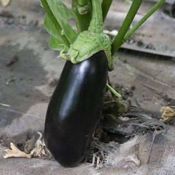 Высокоурожайный сорт баклажанов — алмаз. характеристика, фото, особенности выращивания