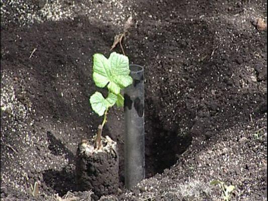 Правила посадки винограда – соблюдаем технологии и главные особенности